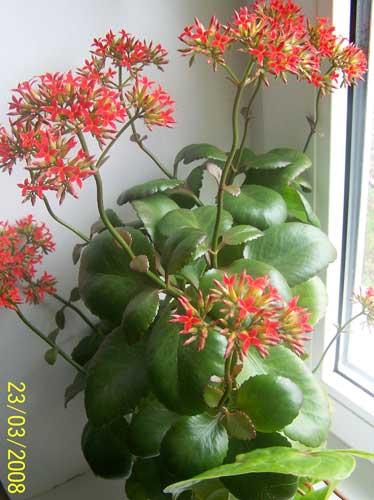 Фото КАЛАНХОЭ - kalanchoe, Мои комнатные цветы., Райская.