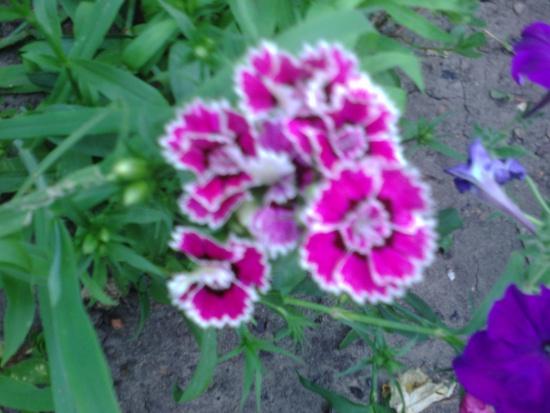 Турецкая гвоздика - украшение сада.