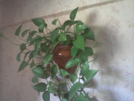 Цветок плющ мужегон - Фото цветов.