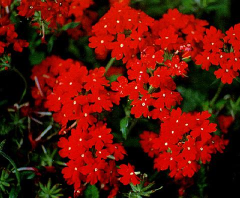каталог садовых цветов с фото: