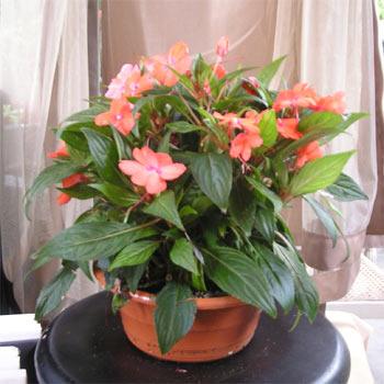 Но есть большая группа комнатных растений, которые радуют нас своими прекрасными цветами в домашних условиях.