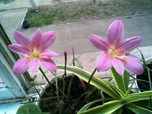 Зефирантес или выскочка  Комнатные растения и цветы