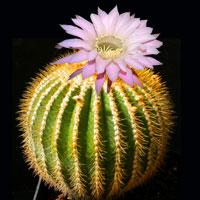 """Схема вышивки  """"Красивый, большой кактус """": предпросмотр."""