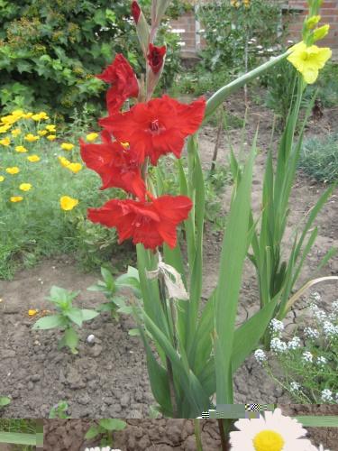 Роза садовая посадка и уход
