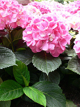 275px-Hydrangea_macrophylla_-_Bigleaf_hydrangea2.jpg