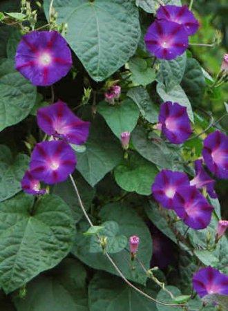 ...садовые цветы Фарбитис (Ипомея) фиолетовые, Ипомея (Фарбитис) пурпурная - Pharbitis purpurea = Ipomea purpurea.