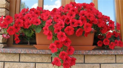 Балконные помидоры как сажать
