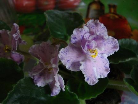 Фиалки одни из самых приятных цветов