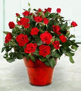 Подарок в виде цветка в горшке вовсе не считается архаизмом и пережитком прошлого, ведь живые цветы могут пригодиться