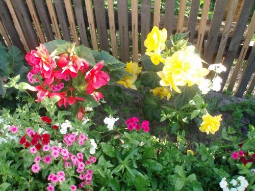 Бегония из семян в домашних условиях как самому вырастить 26