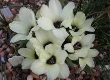 Болезни комнатный цветок бабиана