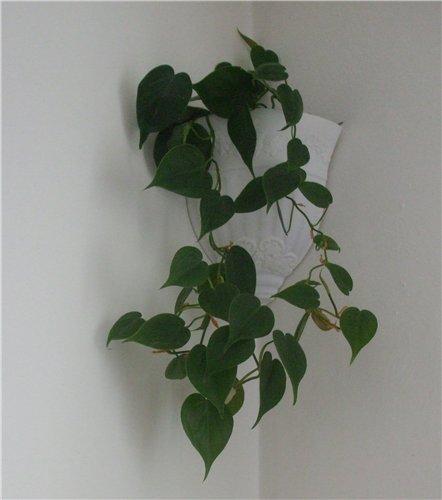 Скорая помощь.  Совет.  Блог цветовода Elena. вьющиеся растения.  Филодендрон лазящий несложное в уходе. растение.