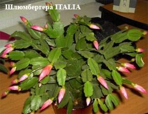 Как заставить цвести кактус декабрист